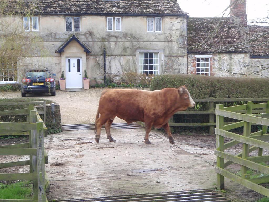 Bull in Semington farmyard