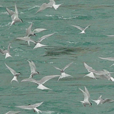 Terns in Iceland
