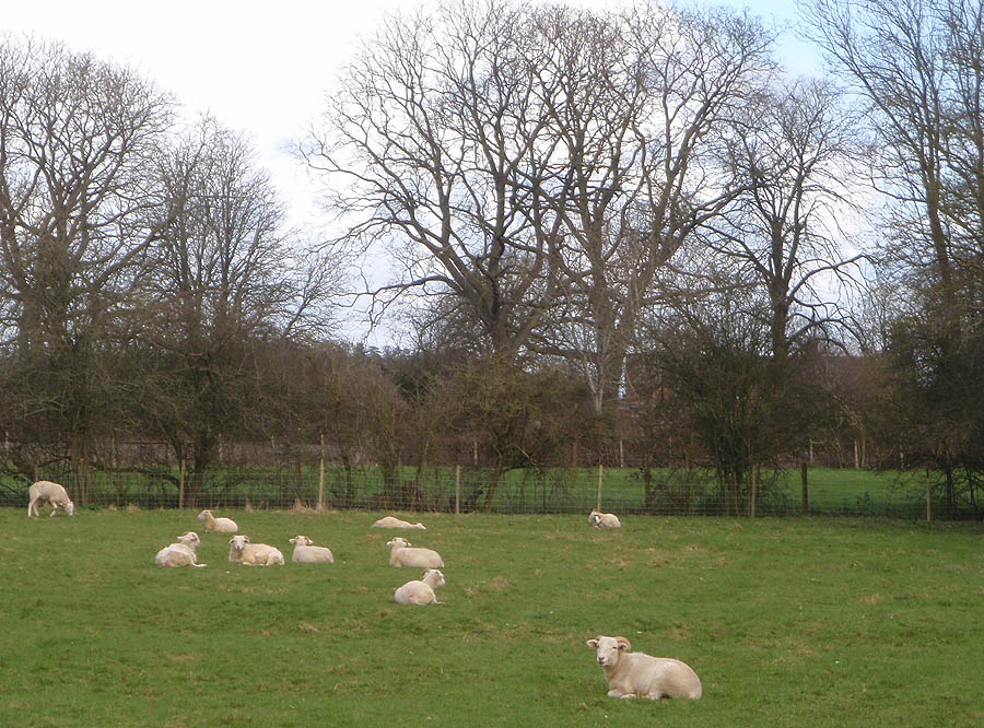 Sheep between Dunch land and Beanacre