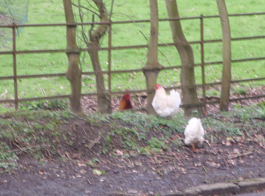 Chickens on the old road