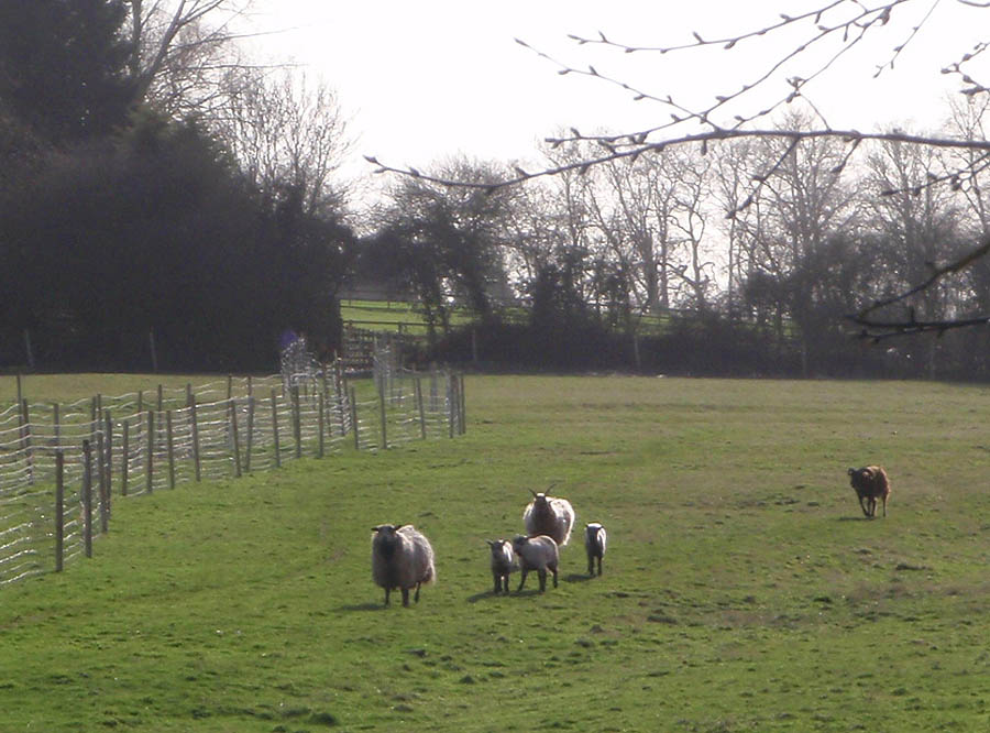 Sheep at Whitley