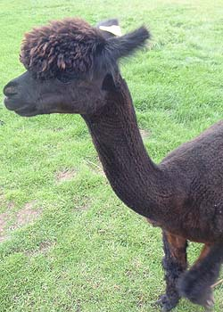 Alpaca in Wiltshire