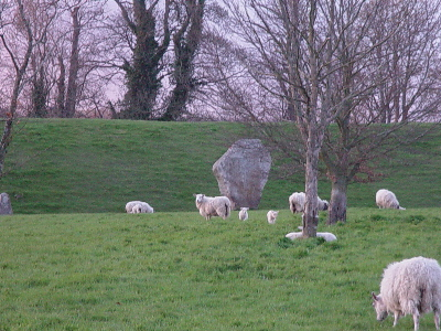 Sheep around the Avebury Stones