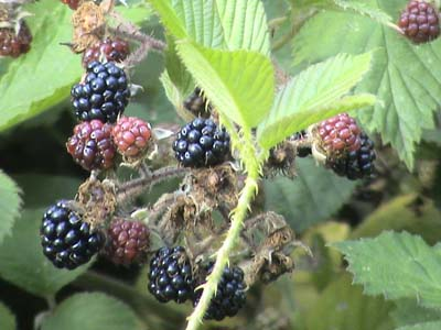 Blackberries near Heaven's Gate