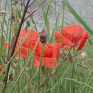 Poppies, Brugge, Belgium