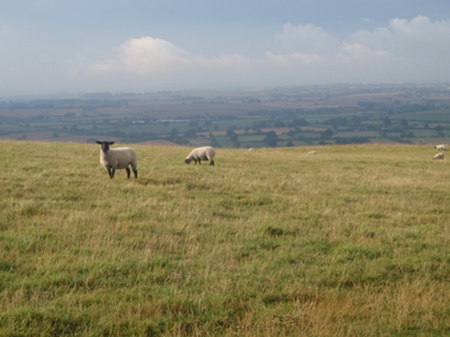 Sheep at Bratton