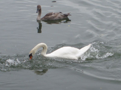 Cheese Wharf, Buscot - Swan defends cygnet