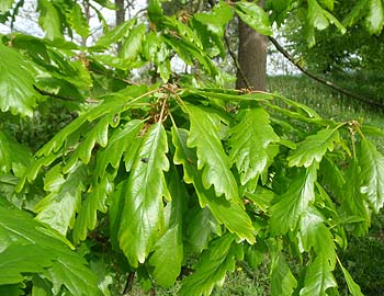 Melksham - Oak leaves