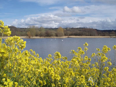 Oilseed at Chew Valley Lake