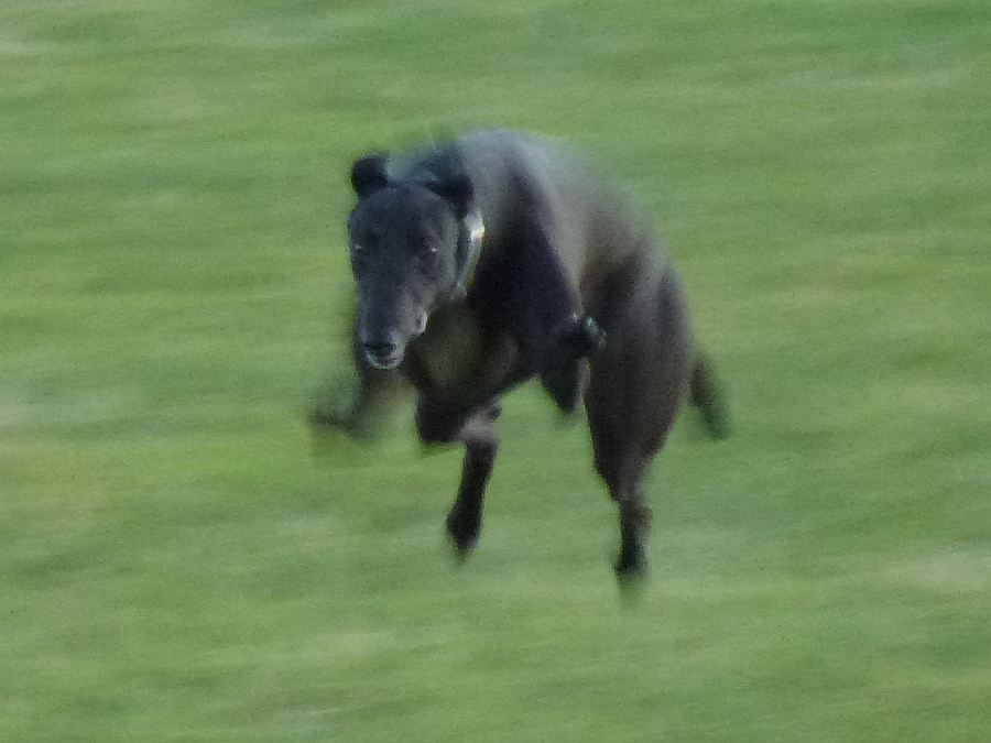 Leaping Lurcher
