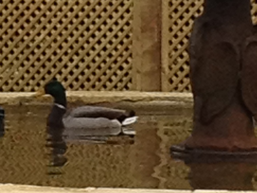 One duck in the fountain