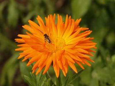 A bee buzzes around - Dyrham Park