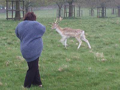 Clicking the deer at Dyrham