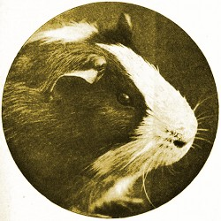 Victorian Guinea Pig drawing