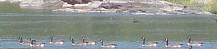 Geese on the Potomac
