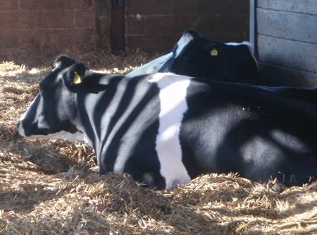 Cow at Lackham