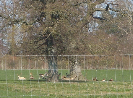 Lackham - Deer