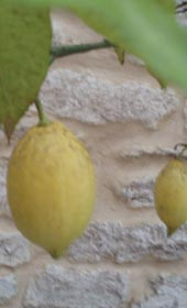 Melksham Lemon Crop