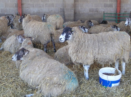 Sheep in a coolly shaded shed at Lackham