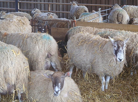 Sheep in the shed, out of the sun