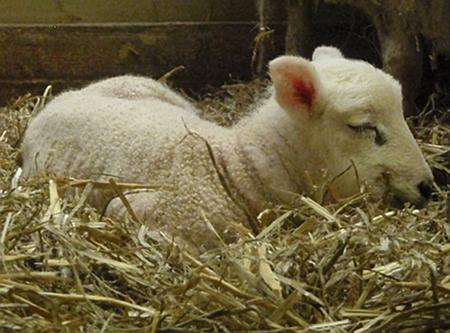 A lamb sleeps