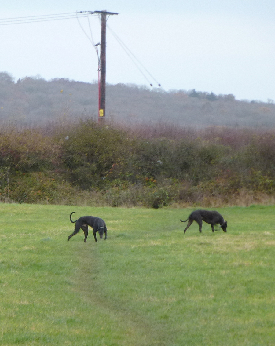 Dogs grazing in field