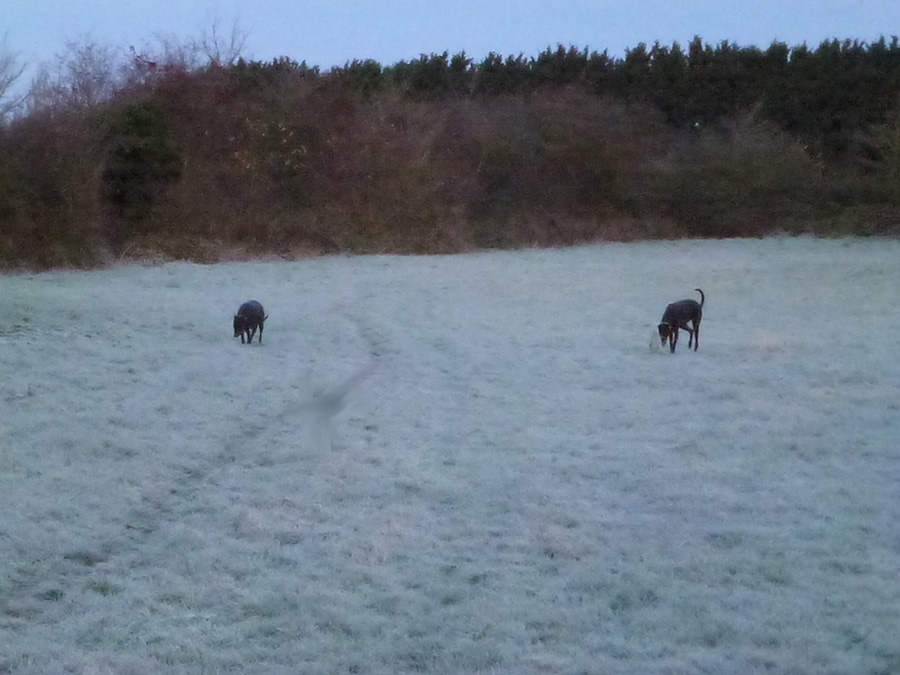 Lurchers Billy and Gypsy in field behind The Spa