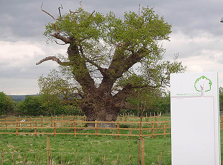 Melksham Oak Community School - and the Oak Tree