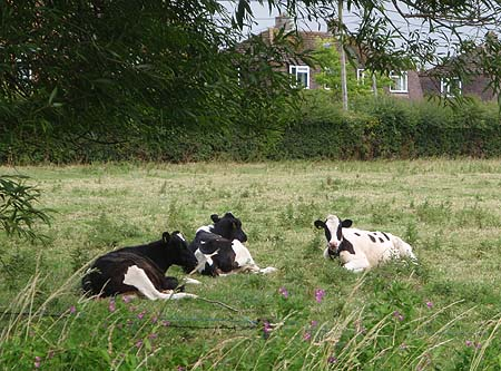 Cows, Melksham Forest / Woodrow