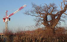 Crane and the Melsham Oak