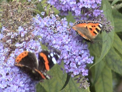Butterflies at Melksham Spa