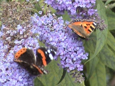 Butterflies at Melksham Spa