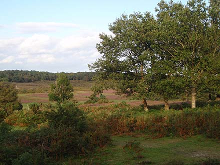 Heather Moorland, New Forest