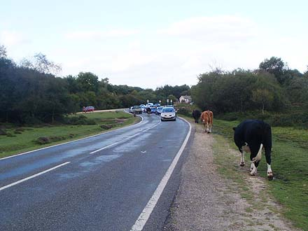 Cows in the New Forest