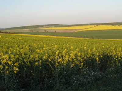 Oilseed on the Downs