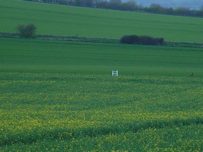 Oil Seed crop starts to flower near Cherhill