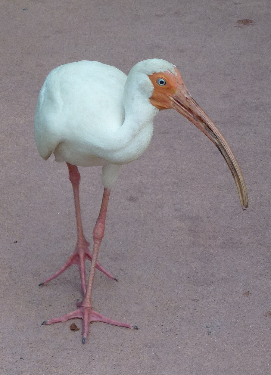 Ibis at Epcot