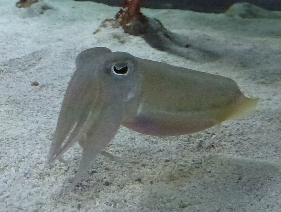 Squid at Epcot