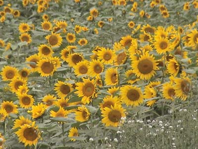 Growing Sunflowers in the Vale of Pewsey