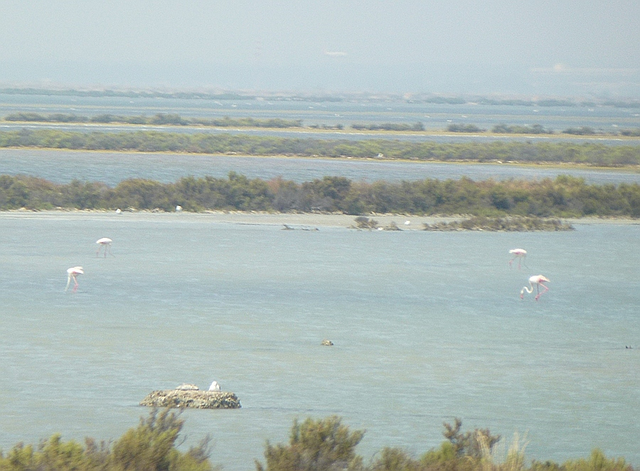 Flamingos in Sardinia