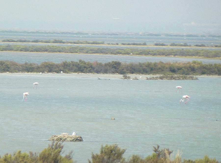 Flamingos in Sardinia