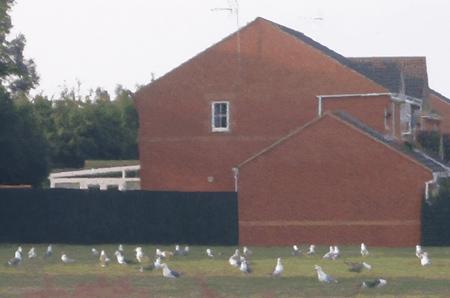 Seagulls in Melksham