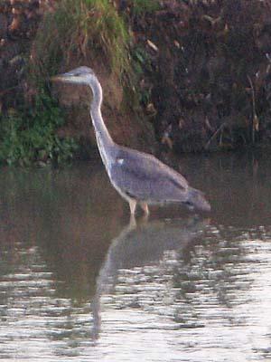 Heron, Seend