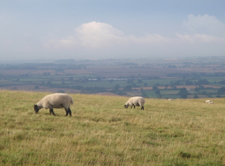 Sheep on the Westbury White Horse