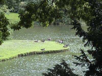 Geese beside the lake, Stourhead