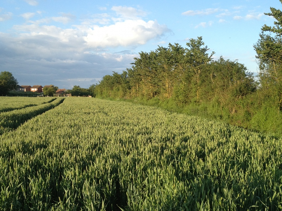 Field of Wheat near Bowerhill