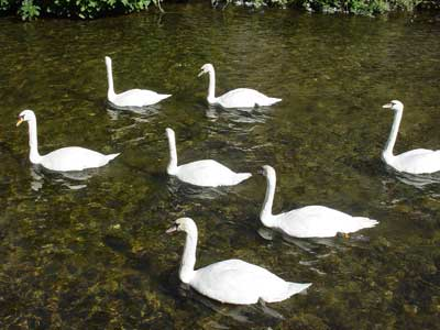 The Ballet of the Swans