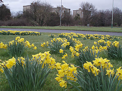 "Daffodils on ""The Spa"" Roundabout"