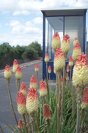 Red Hot Pokers, Melksham