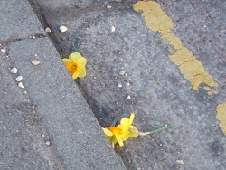 Vandalised Daffodils, Melksham